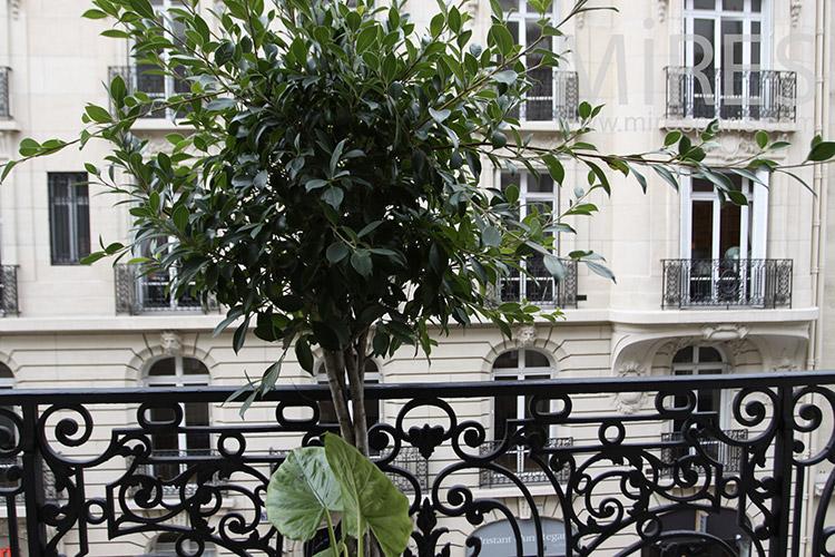 Parisian balcony with green plant. C1237